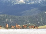 Elk on top of Trail Ridge Road