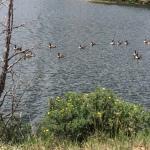 Canada geese on Estes Lake