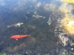 Carp in The Japanese Garden at Sonnenberg Mansion